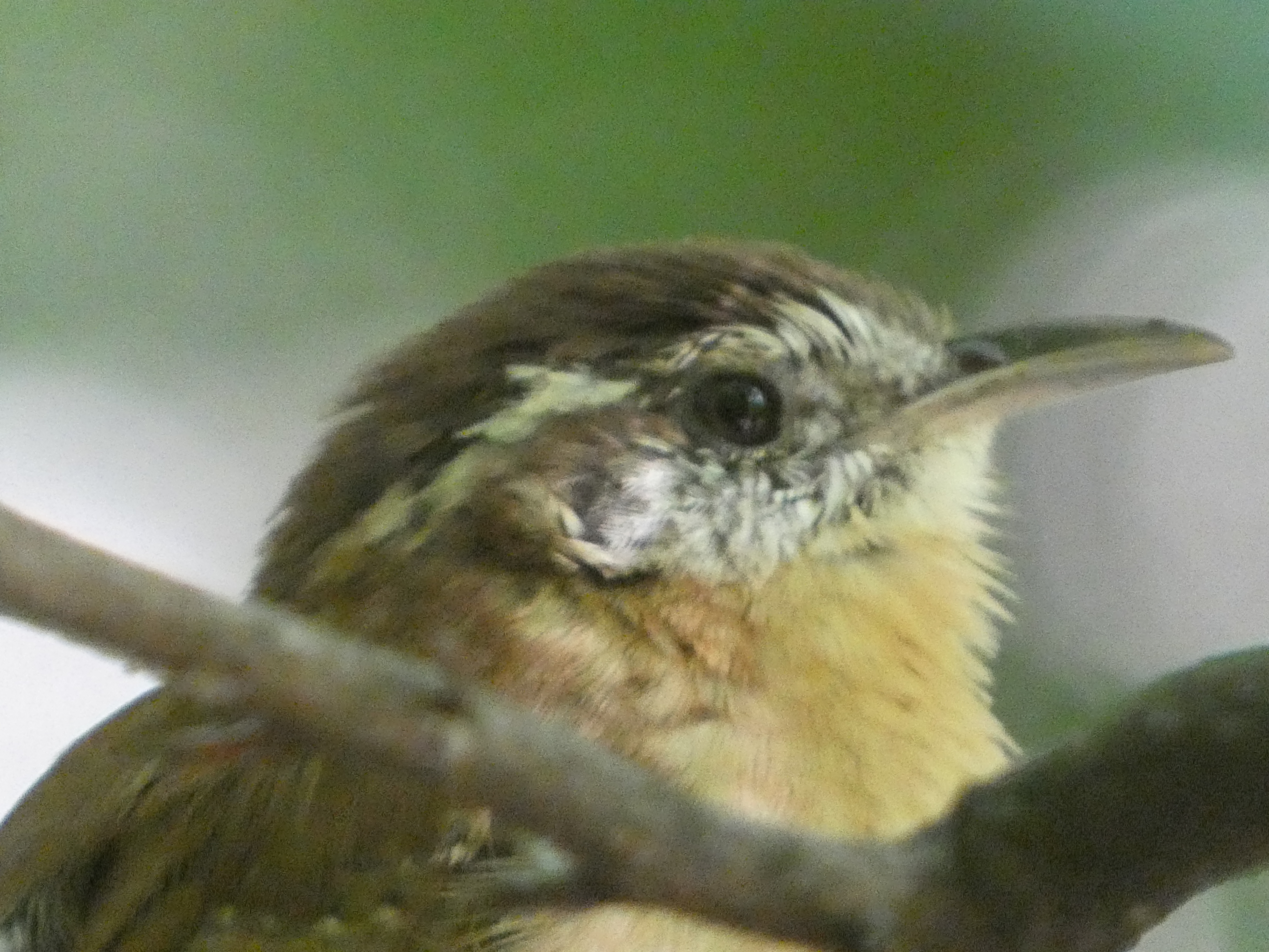 The cutest loudmouth in the woods. Do a YouTube search to hear their song, and I'll bet you've heard it a thousand times. Now you know it's a Carolina Wren with those pipes!