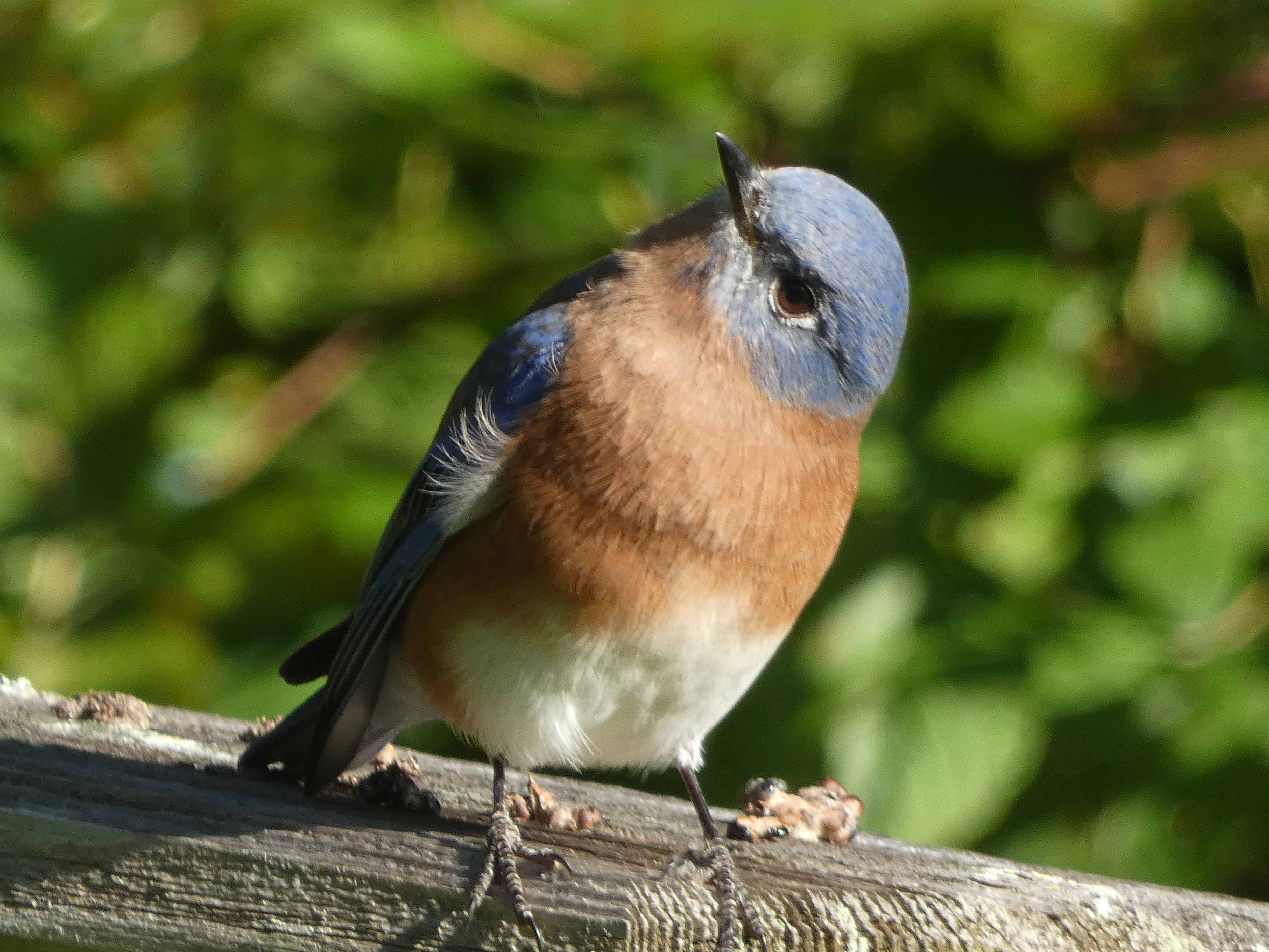 Bluebirds have the sweetest faces. Just look at those dreamy eyes!