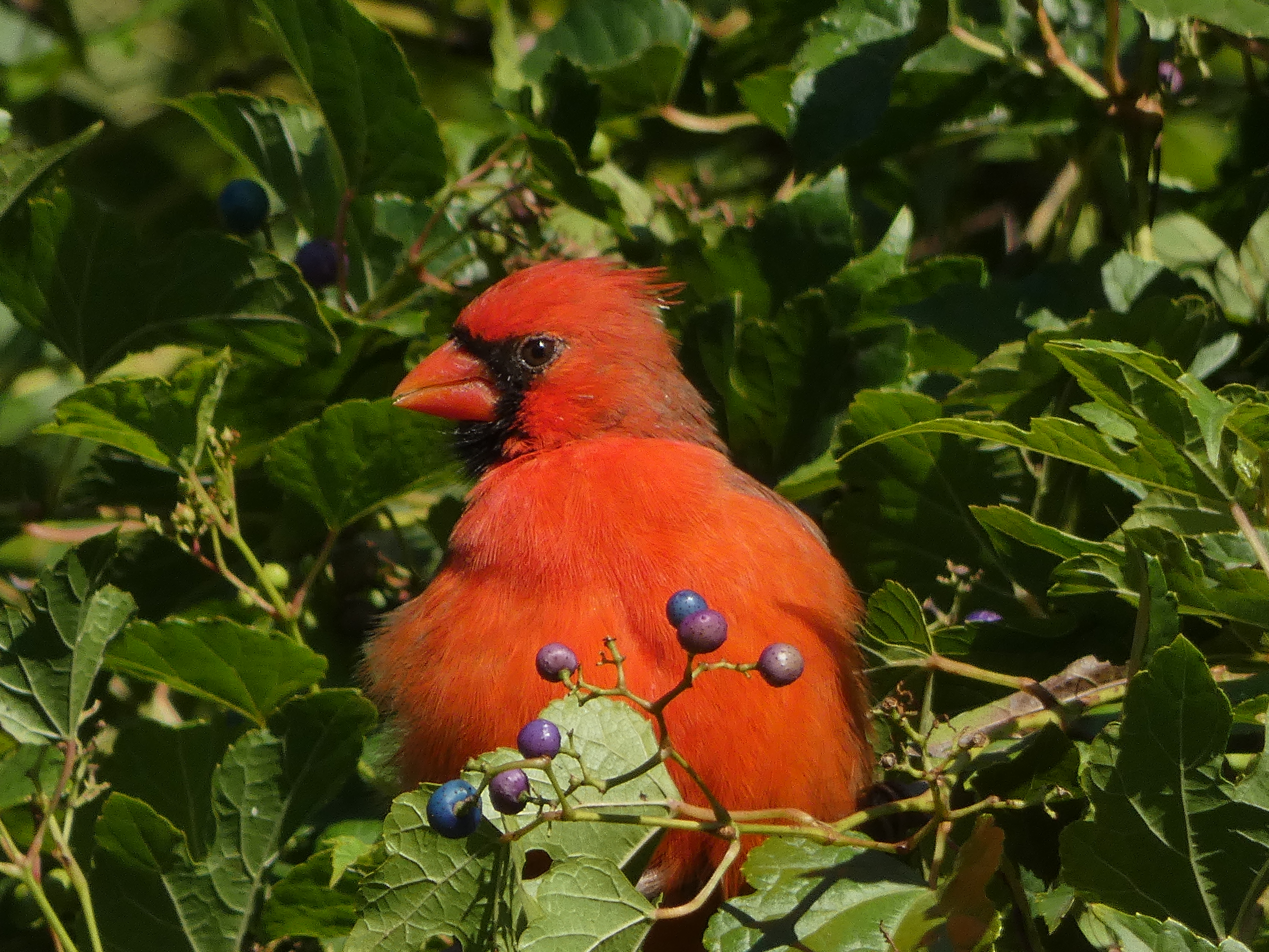 This handsome boy seemed to be drunk off the berries. Too full to move!