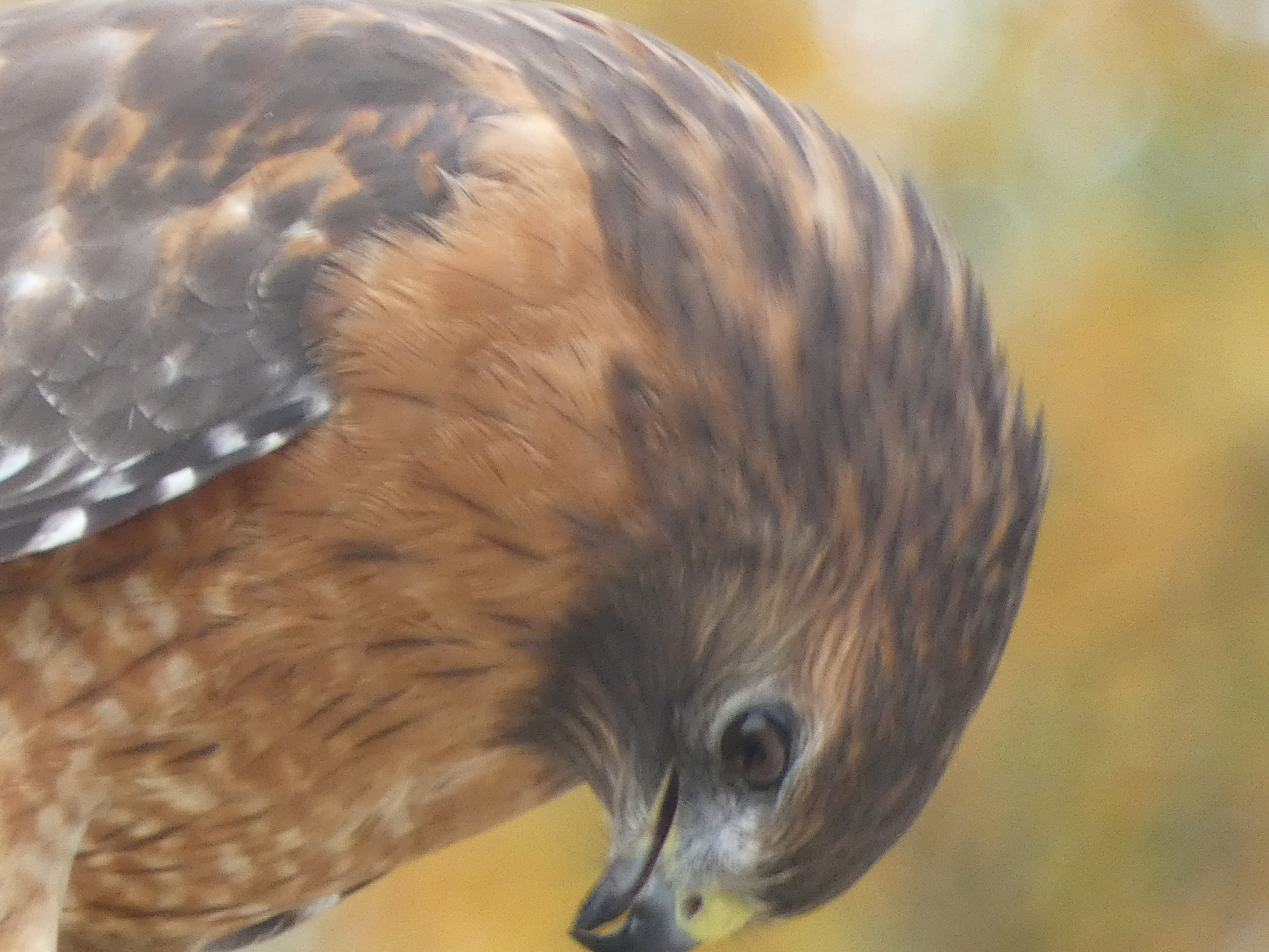 Raptors are my absolute favorites and Red-Shouldered Hawks are especially exquisite.