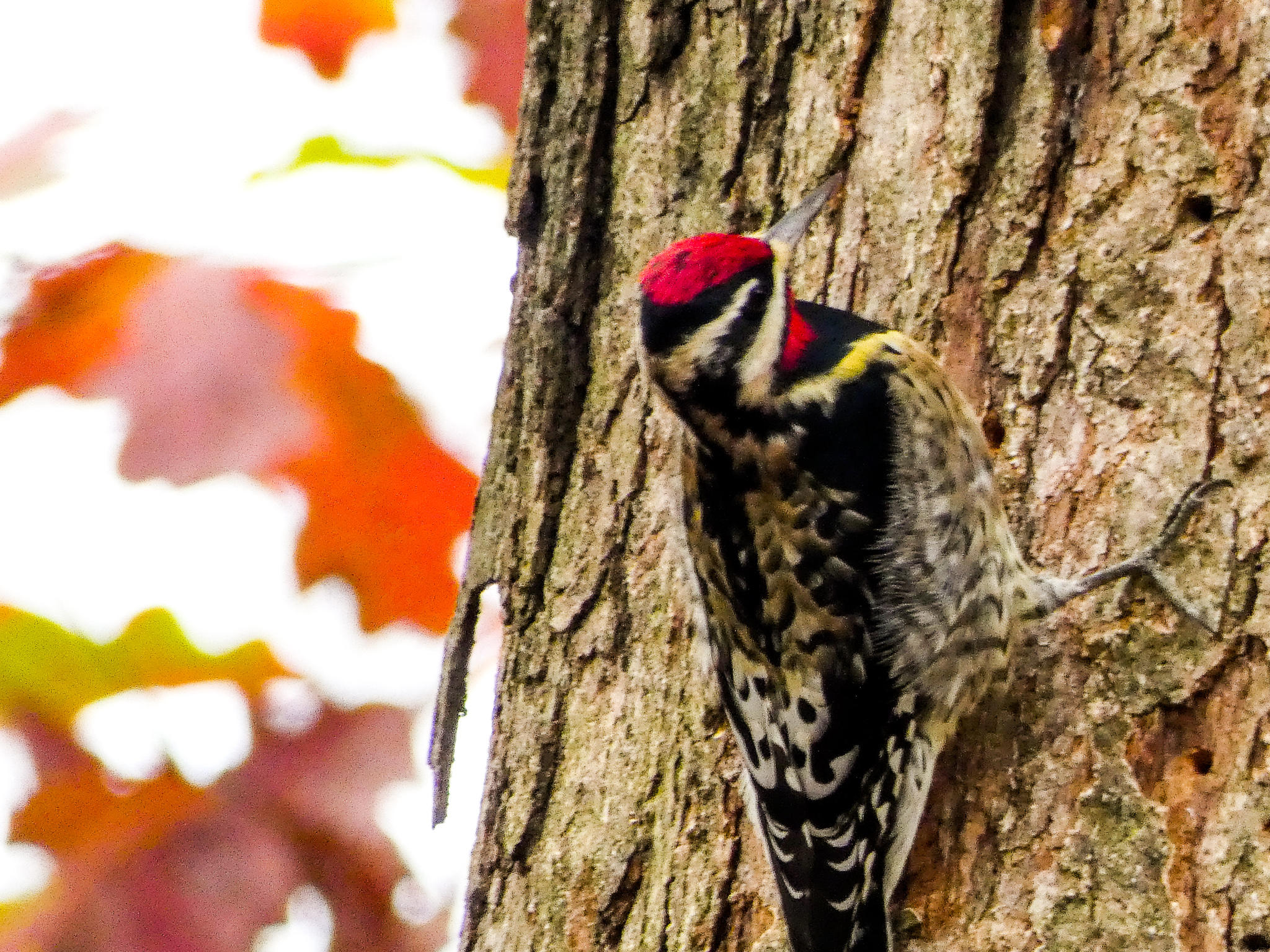 Another backyard beauty who graced me with a visit this summer. Also in the woodpecker family. Keep your eyes open for this one ... easy to miss ... but an absolute treat to watch.